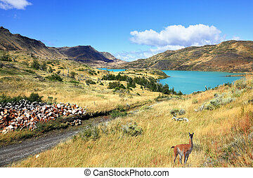 The wild guanacos on the river bank