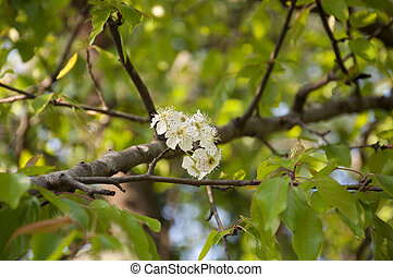 The Wild Himalayan Pear in Bloom