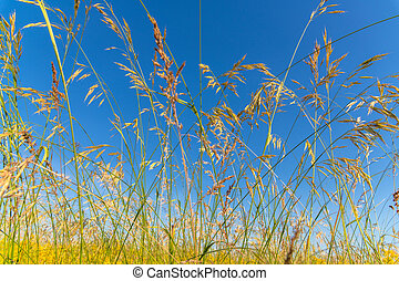 The wild oats against a blue sky