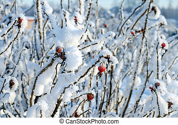 The wild rose Bush with berries under snow