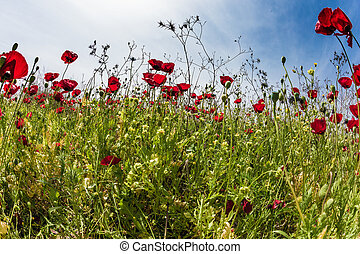 The wildflowers - red anemones - Light clouds and warm sun...