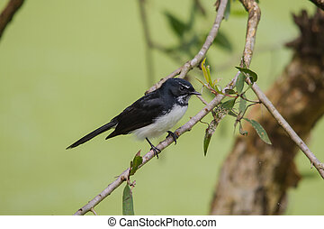 The Willie (or Willy) Wagtail (Rhipidura leucophrys) is a passerine bird native to Australia, New Guinea, the Solomon Islands, the Bismarck Archipelago, and eastern Indonesia.