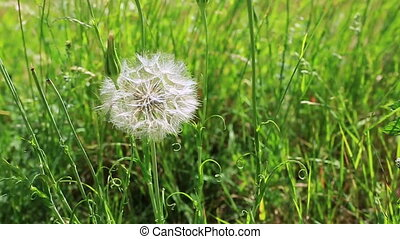 The wind blows dandelion seeds.