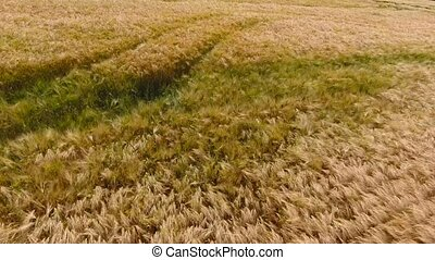 the wind blows in a yellow rye field.