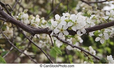 the wind rocks white plum blossoms in spring time