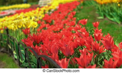 Floral exhibition at beautiful countryside. Colorful tulips are shaking by the fresh breeze.
