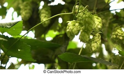 wind swings the branches of hops