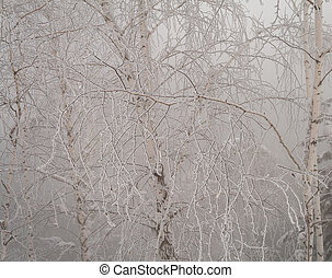 The winter cobwebs - A spider's Web of branches of birch ...