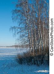 landscape with frozen birches