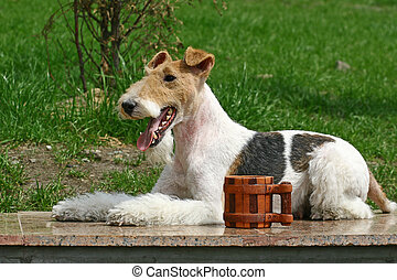 The Wire Fox Terrier is a breed of dog, one of many terrier...