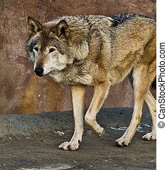 the predator hunts, the grey wolf, zoopark