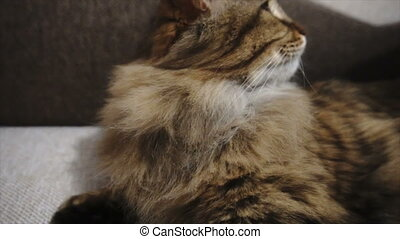 The Woman Combs A Dozing Cat's Fur. Grey Cat Lies On Blanket