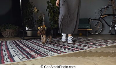 The woman drives her dog, a breed of Yorkshire Terrier Close up of legs in white sneakers. A beautiful little dog goes through the room on the leash.
