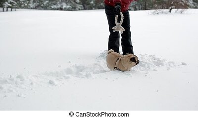 The woman playing with toy and her pug in deep snow. Dog...