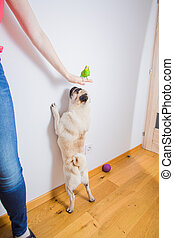 The woman trains her pug not to attack the parrot