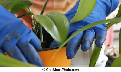 The woman transplants the indoor lily flowers into new...