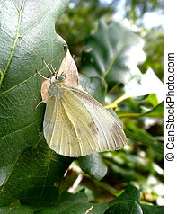 The wood white butterfly on a leaf