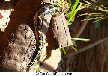 The yellow anaconda snake