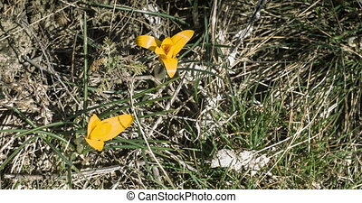 The yellow crocus flowers open up on the field