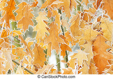 The yellow dry leaves covered with hoarfrost