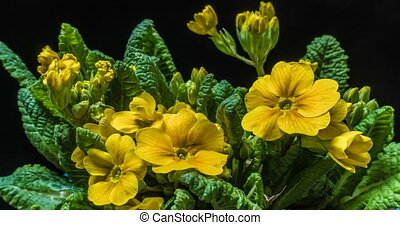 The yellow flower of the primrose blossoms under the sun.