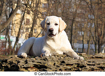 the yellow happy labrador puppy in garden portrait
