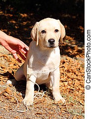 the yellow happy labrador puppy in garden