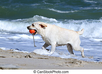 the yellow labrador running to the sea