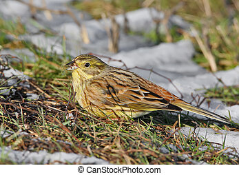 The yellowhammer (Emberiza citrinella) feeding
