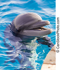 The yong Bottlenose dolphin is swimming in red sea near the ...