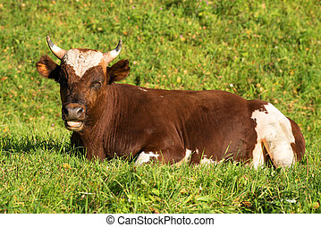 The young bull lies on a grass