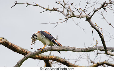 The young falcon sits on a branch and eats a lizard - Young ...