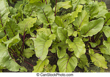 The young leaves of beet growing in the garden, top view
