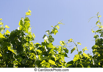 the young leaves of the grape on a background of blue sky