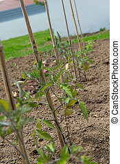 young tomato plants in the garden