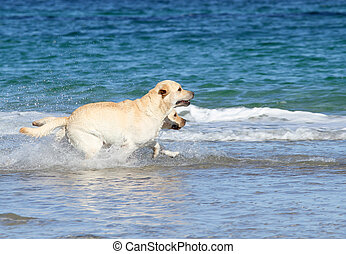 labradors at the sea with a ball