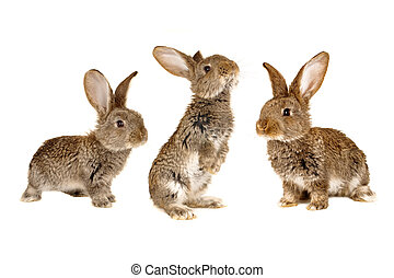 thee brown rabbit ?n a white background