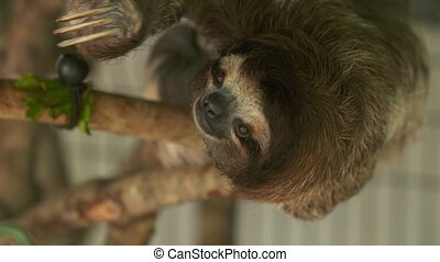Thee-toed sloth hanging at a sanctuary, Costa Rica - Extreme...