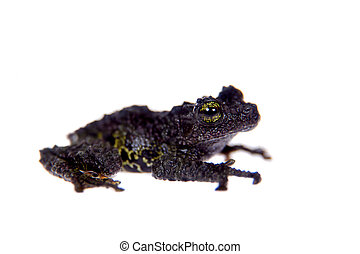 Theloderma bicolor, rare spieces of frog on white -...