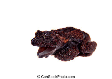 Theloderma gordoni, rare spieces of frog on white -...