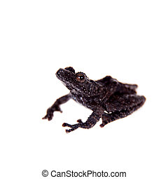 Theloderma horridum, rare spieces of frog on white -...
