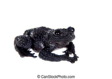 Theloderma ryabovi, rare spieces of frog on white