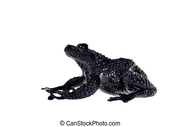 Theloderma ryabovi, rare spieces of frog on white -...