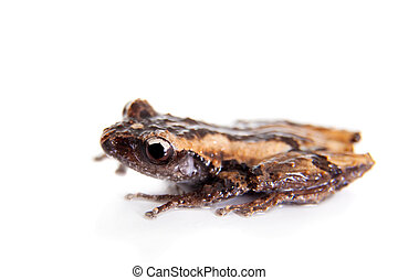 Theloderma trongsinense, rare spieces of frog on white -...