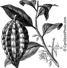 theobroma, contre, aussi, fruit, vendange, feuilles, arbre, isolé, illustration, feuilles, arbre, fruit, arrière-plan., cacao, connu, cacao, gravé, blanc