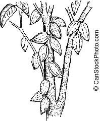 theobroma, pianta, (cocoa, pods)