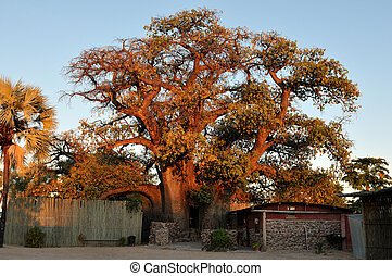 The?Ombalantu baobab tree in Namibia
