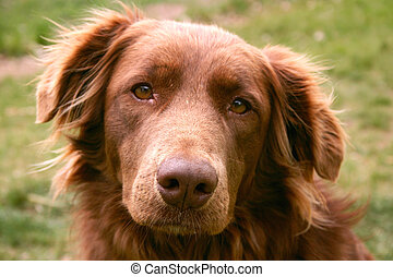 Therapy Dog - Golden Retriever chocolate lab crossbred dog...