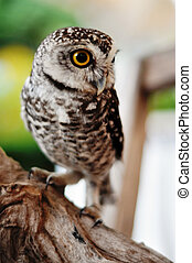Little owl - There are 13 recognized races of Little owl...