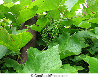 green leaves and branches of grapes